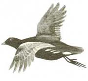 gallinella in volo