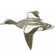 fischione in volo caccia