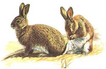 coniglio selvatico caccia