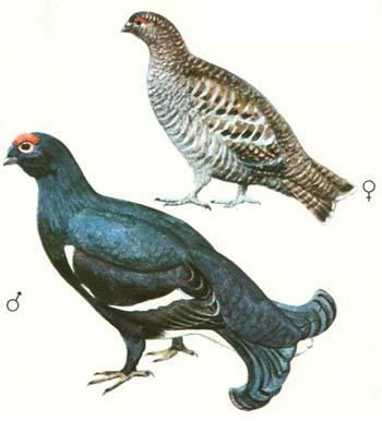 gallo caccia