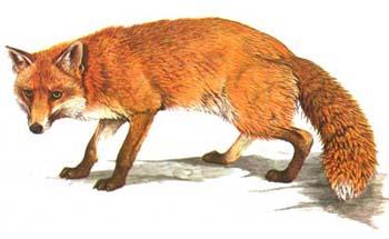 caccia alla volpe