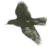 volo cornacchia caccia