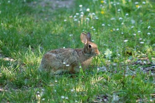 caccia coniglio
