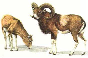 muflone caccia