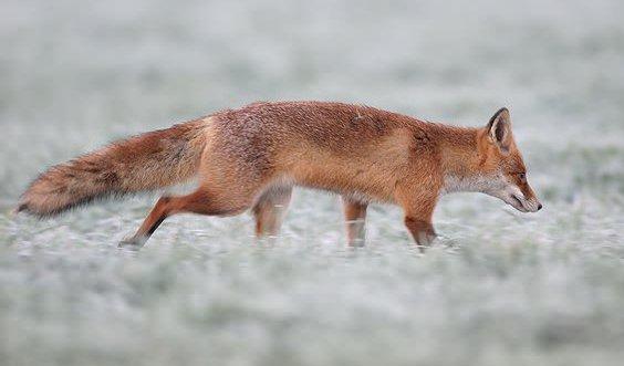 fox volpe caccia foto